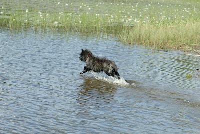 Aynï demonstrerer at cairner kan være glade i vann