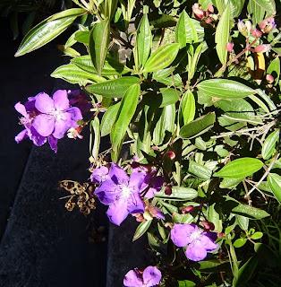 large, bright purple tibouchina flowers