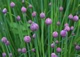 Flores de cebolinha Verde