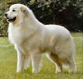 Great Pyrenees Bernese Mountain Dog