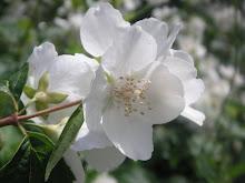 vita, vackra blommor!