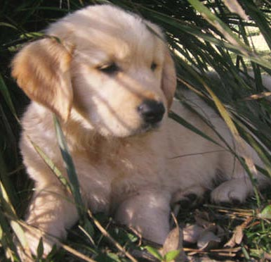 golden retriever mixed with lab. golden retriever lab mix