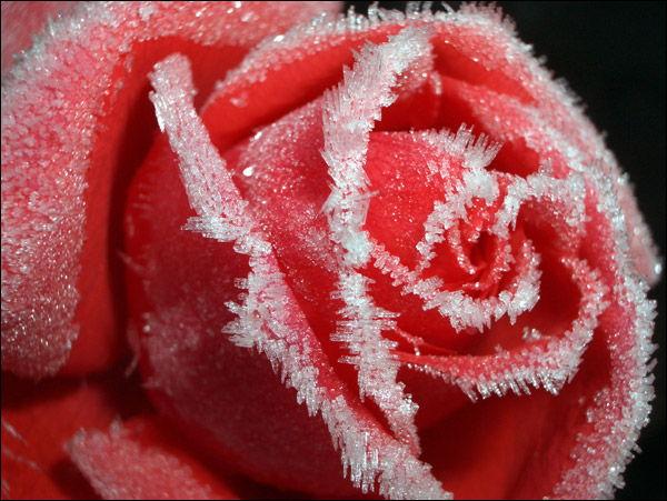 57. Gönülçelen -Inima furata - Heart Stealer - General Discussions - Comentarii - Pagina 6 Trandafiri+-+buchete+de+mireasa+trandafiri+de+gradina+rosii+albastri+albi