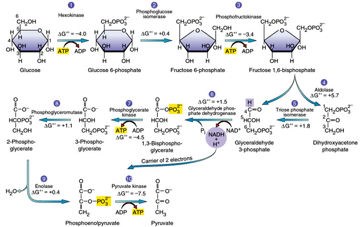 Glycolysis Cycle http://biomoocnews.blogspot.com/2012/10/daily-newsletter-october-2-2012.html