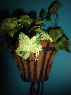 nematanthus gregarius goldfish plant. gregarius goldfish plant.