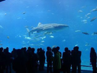 じんべぇ鮫