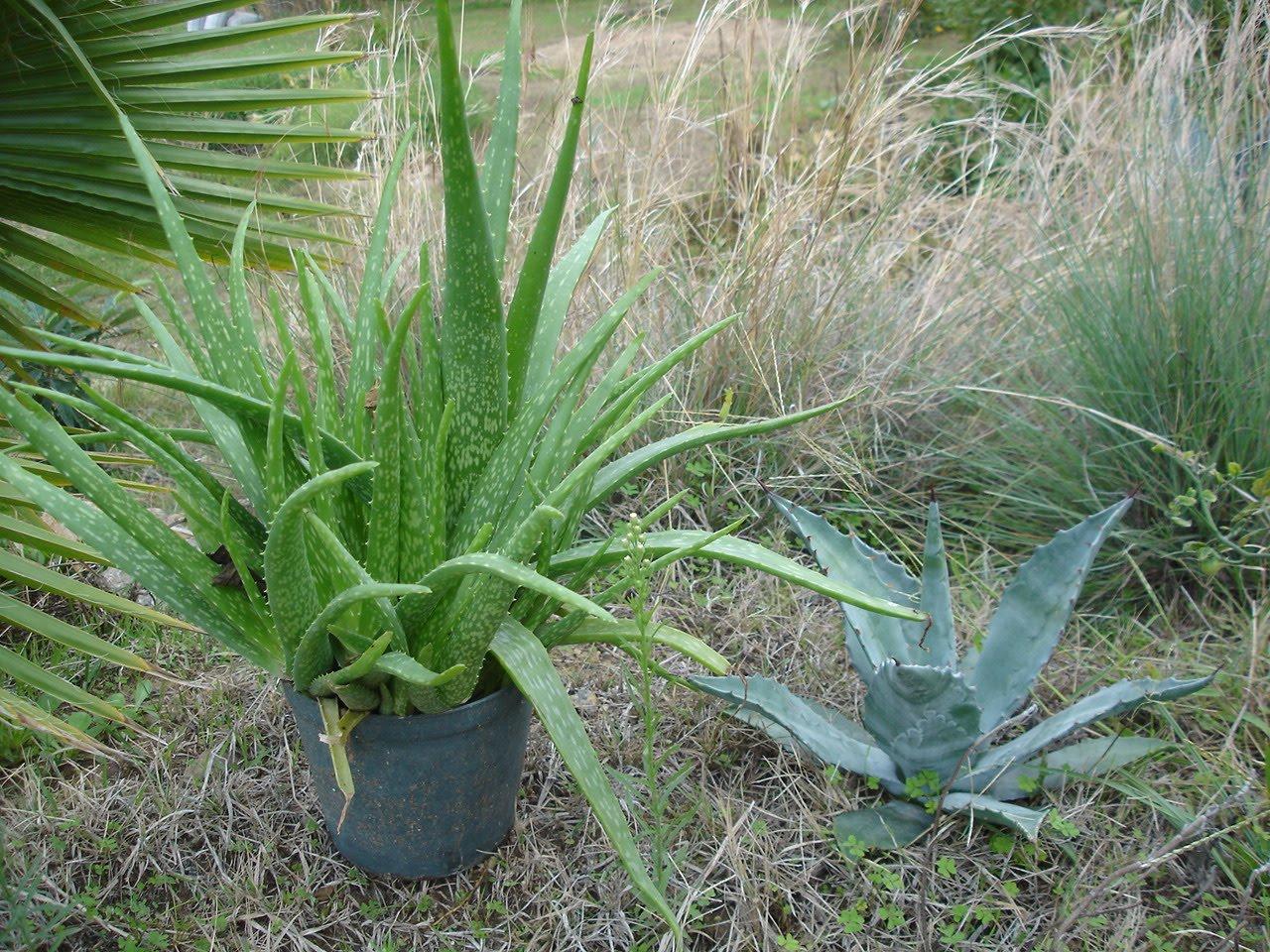 Sarısabır Bitkisi (Aloe vera) Neye İyi Gelir