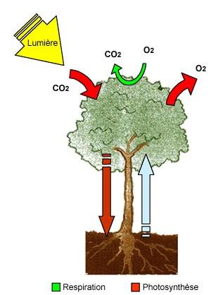 Des for ts et des arbres l 39 arbre respire l 39 arbre se nourrit - Comment s appelle l arbre du kaki ...