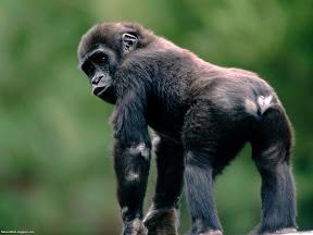 Monkeys | nature desktop wallpapers Images Photos