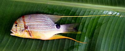 Sailfin Snapper - Symphoricthys spilurus Siargao Island Philippines