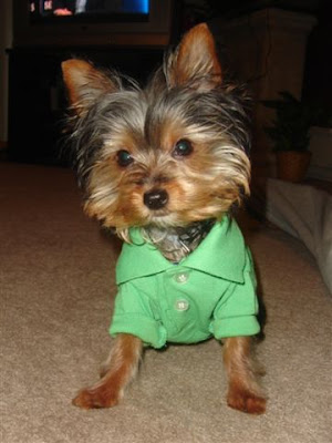 Yorkiepuppies Youtube on Yorkie Miniature Yorkshire Terrier Dog Jpg