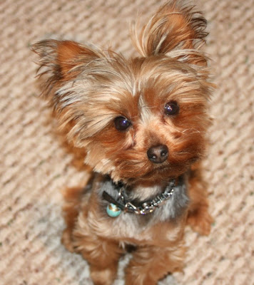 Yorkshire Terrier Haircuts and Grooming for Pet Owners to Learn