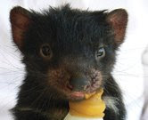 Tasmanian Devil Reproduction | RM.