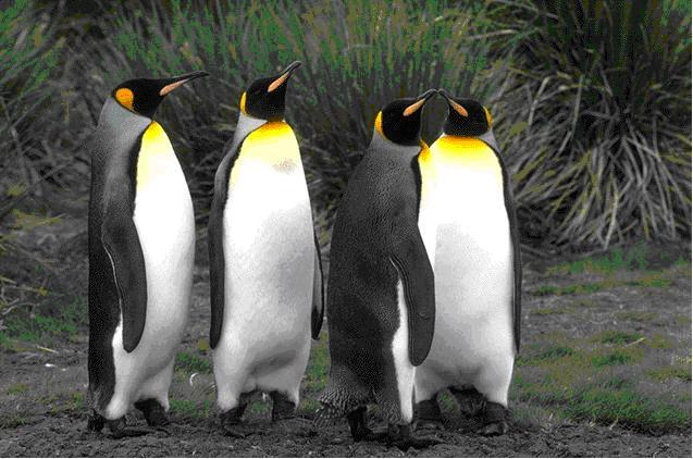 Viata sexuala a pinguinilor