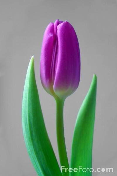 aduhai sang tulip~