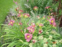 Dwarf Grapette Daylilies
