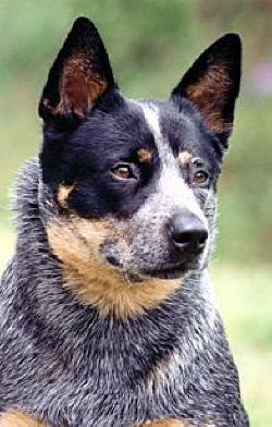 Australian Cattle Smart Dog