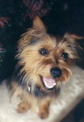Cute Australian Terrier Puppy