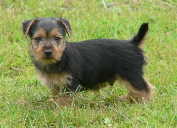 Funny Australian Terrier Puppies Photos