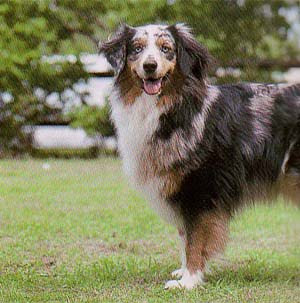Image of Australian Shepherd Dog