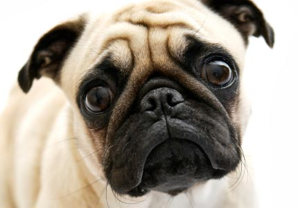 Pug Dog Breeds - Dog Wallpapers