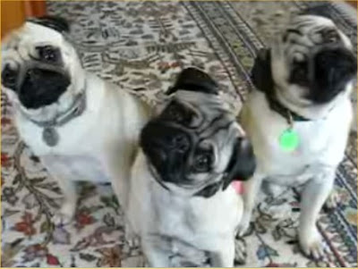 Pug Top Dog Breeds