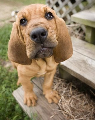 Bloodhound Dog Puppies