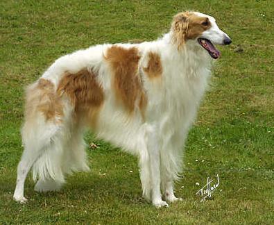 Borzoi Dog Breeds