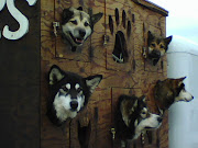 Whitefish sled dogs ~ 881-BARK