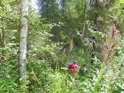 Dead spruce cutting