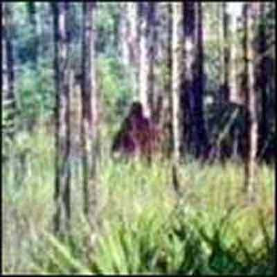 The Skunk Ape Live In Florida Secrets Of Mysterious World