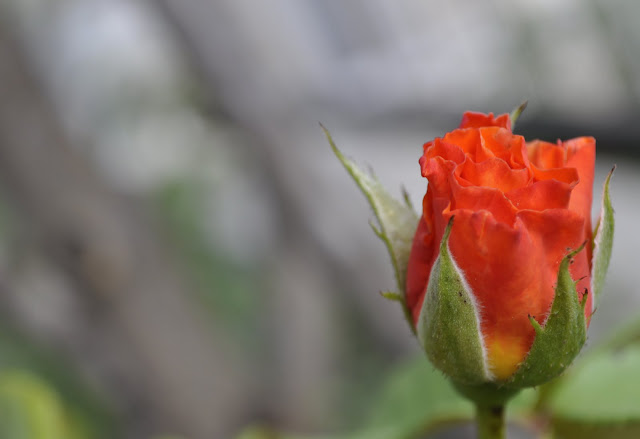 58. Gönülçelen -Inima furata - Heart Stealer - General Discussions - Comentarii - Pagina 20 Trandafir