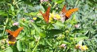3 gulf fritillary butterflies & buckeye butterfly