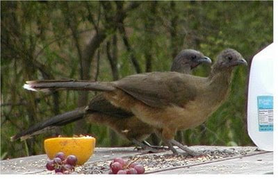 Big, loud, greedy at Bentsen State Park