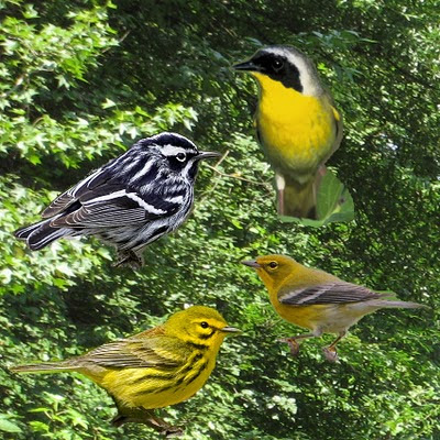 If only warblers were this cooperative