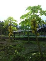 pepaya kuning, daunnya kuning jg euy...