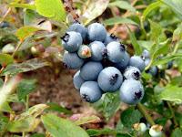 Bleuet,Myrtille,Vaccinium myrtillus