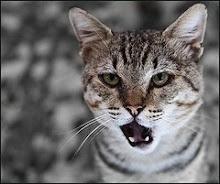 gato cantaautor