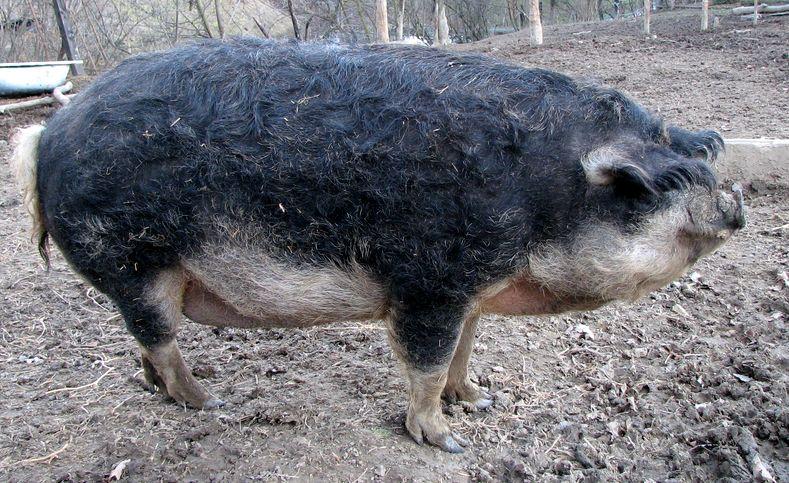 Meet the Mangalitsa, the Hairy Pig That's the Kobe Beef of Pork ...