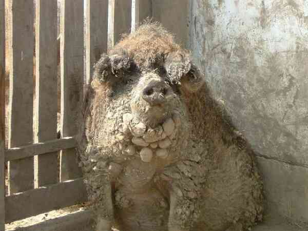 Ugliest Pig In The World Wooly Pigs: Ugliest Ma...