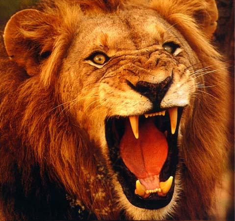 external image lion.jpg