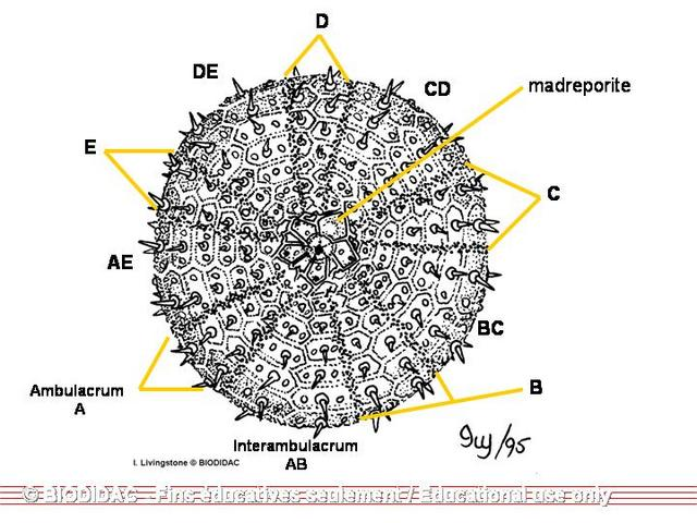 Sea urchin anatomy - animalcarecollege.info