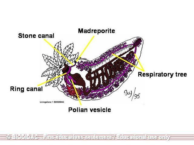 The Echinoblog Secrets Of The Starfish Sieve Plate Madreporite