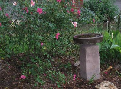 Annieinaustin, mutabilis rose