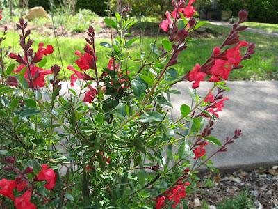 Annieinaustin, Salvia greggii