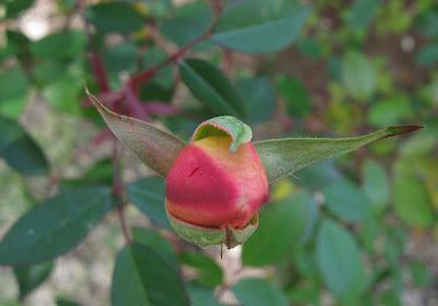 Annieinaustin mutabilis rosebud