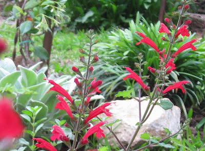 Annieinaustin, Salvia roemeriana