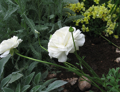 Annieinaustin ranunculus and lambs ears