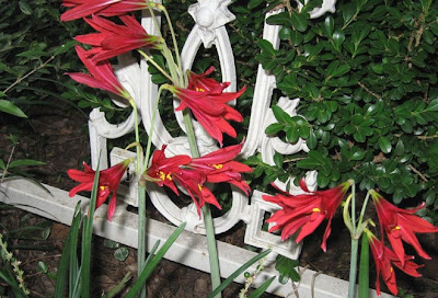 Annieinaustin, oxblood lily nr fence