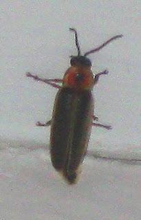 Annieinaustin,lightning bug